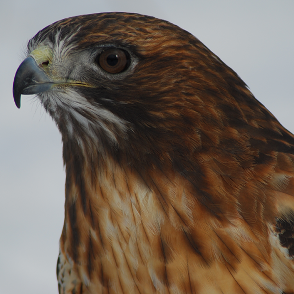 Rusty, Red-tailed Hawk