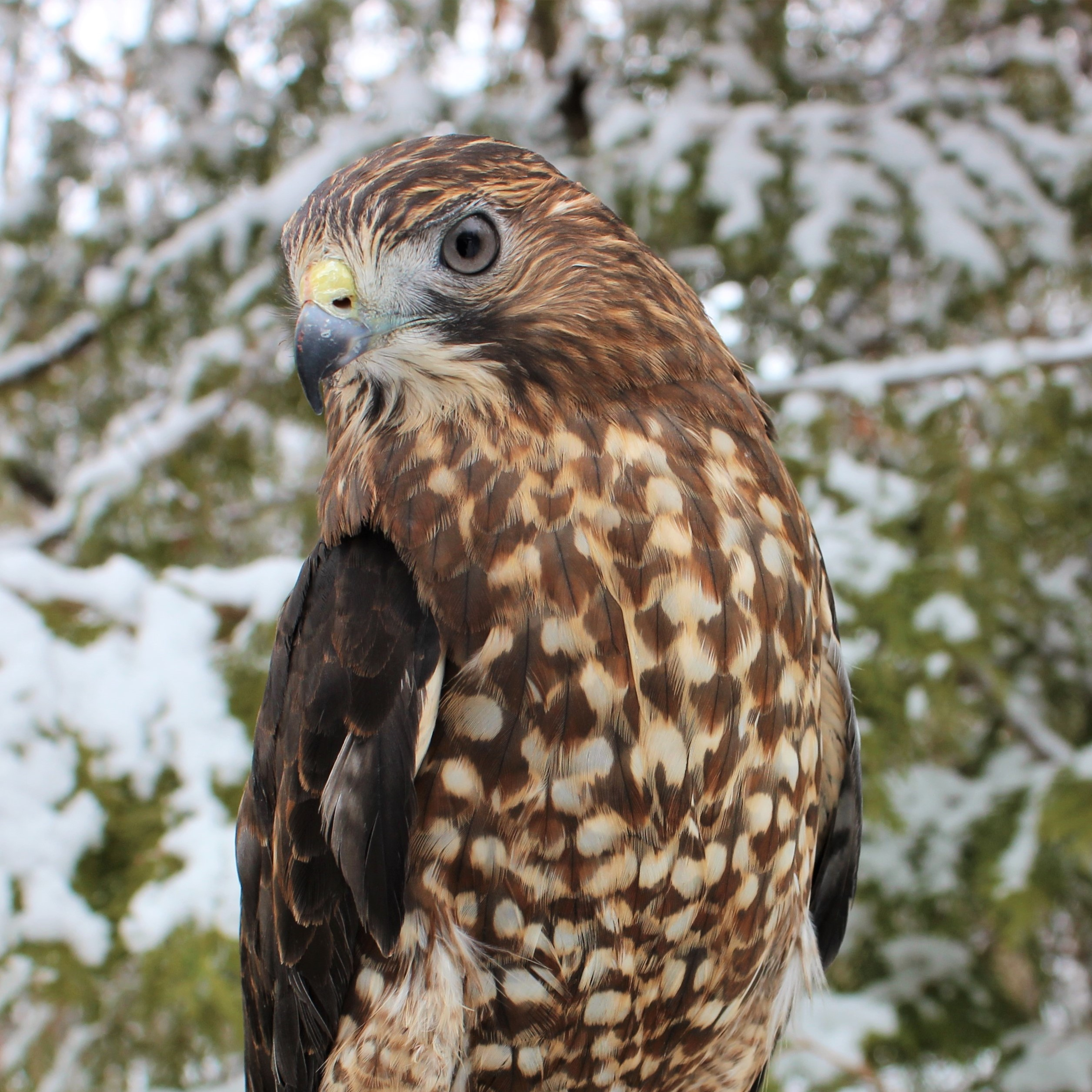 Willow, Broad-Winged Hawk