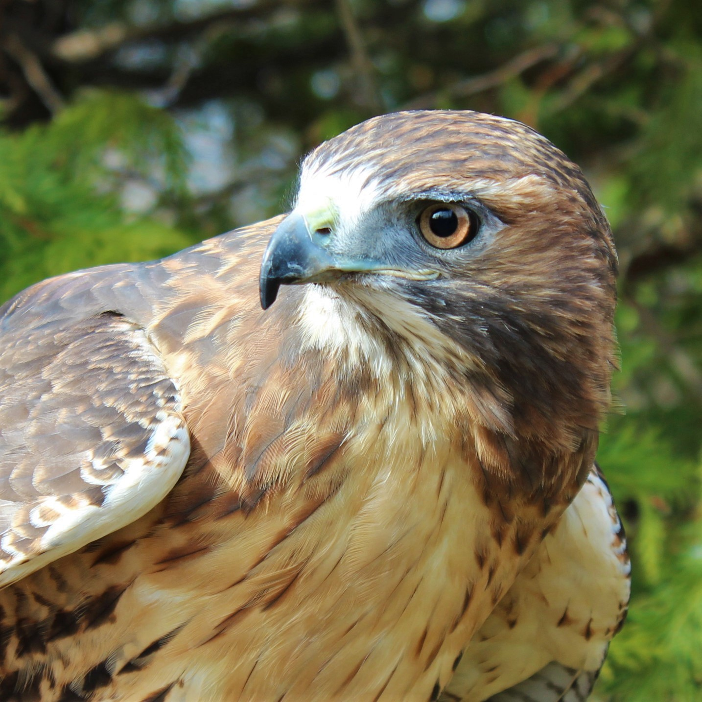 Scarlet, Red-Tailed Hawk
