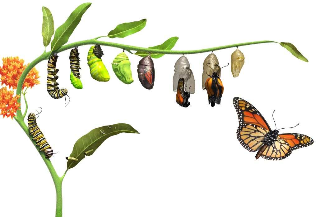 Image result for metamorphosis caterpillar to butterfly